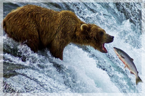 swimming-upstream-bear